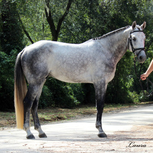 a-Aria Holsteiner Inspections 10-2-14-1